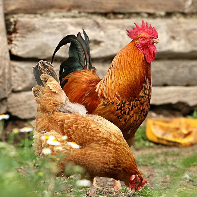 expertos en avicultura 02 - Piensos Bograo